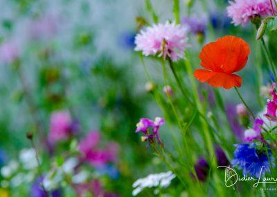 Les fleurs de haute montagne